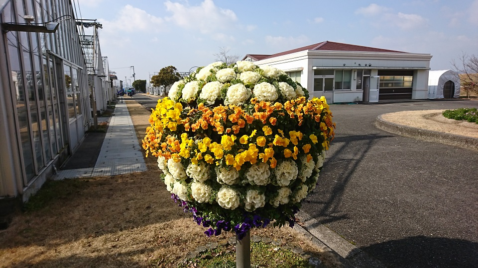 1月の花ハボタン達。見事に咲いています。