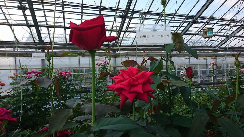 咲き誇る「ローテローゼ」という薔薇。