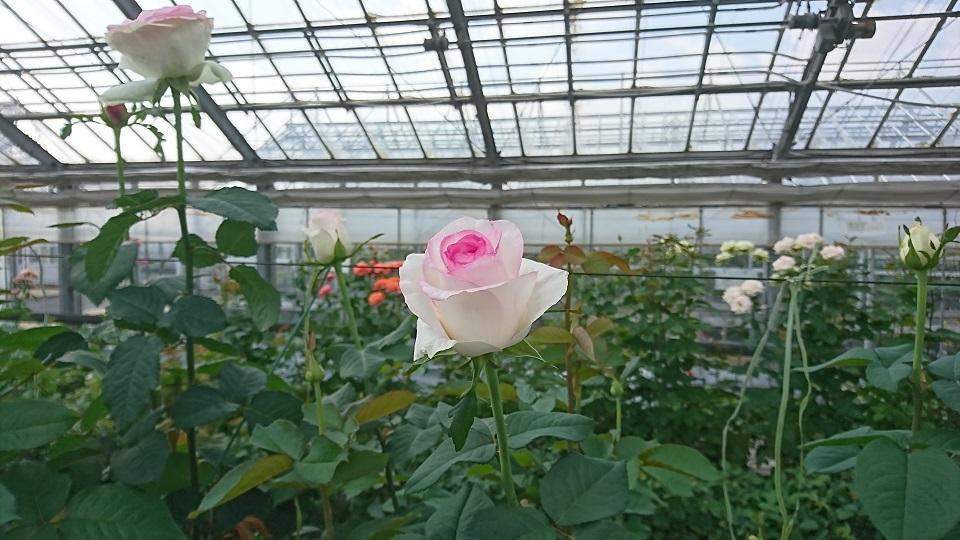 淡く咲く、可憐な白薔薇。