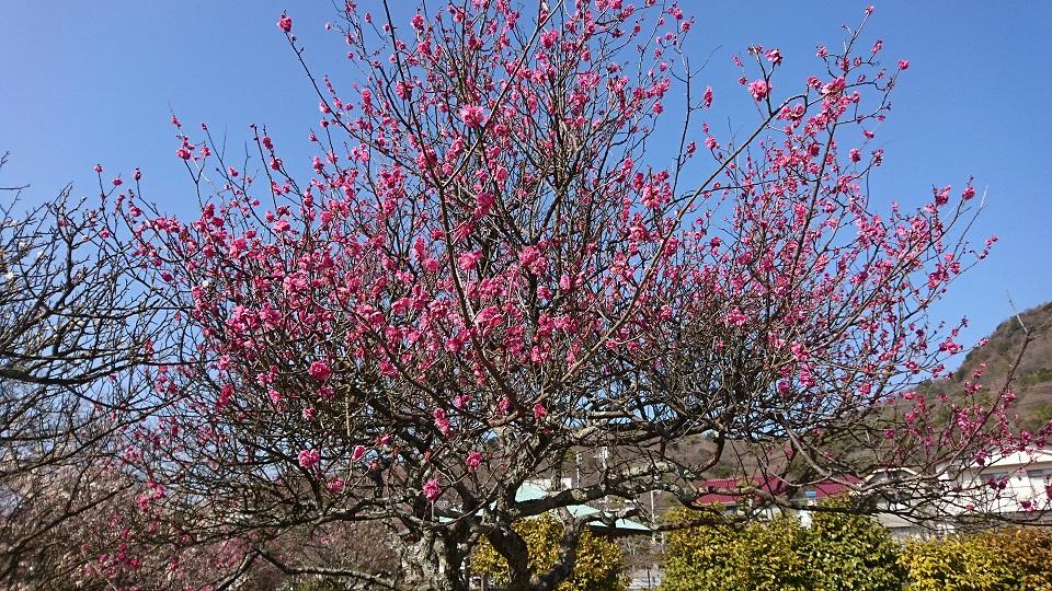 満開に咲く紅梅の木。