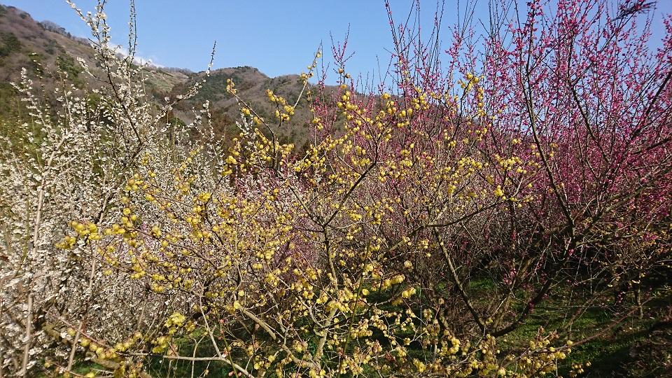 白梅、紅梅、蝋梅が重なるように咲いている。
