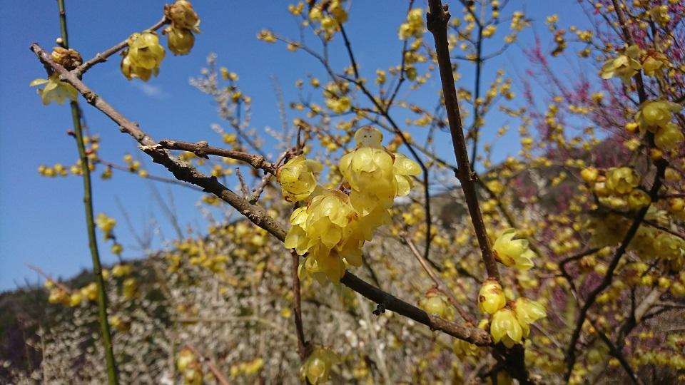 黄色の梅、蝋梅。珍しい。
