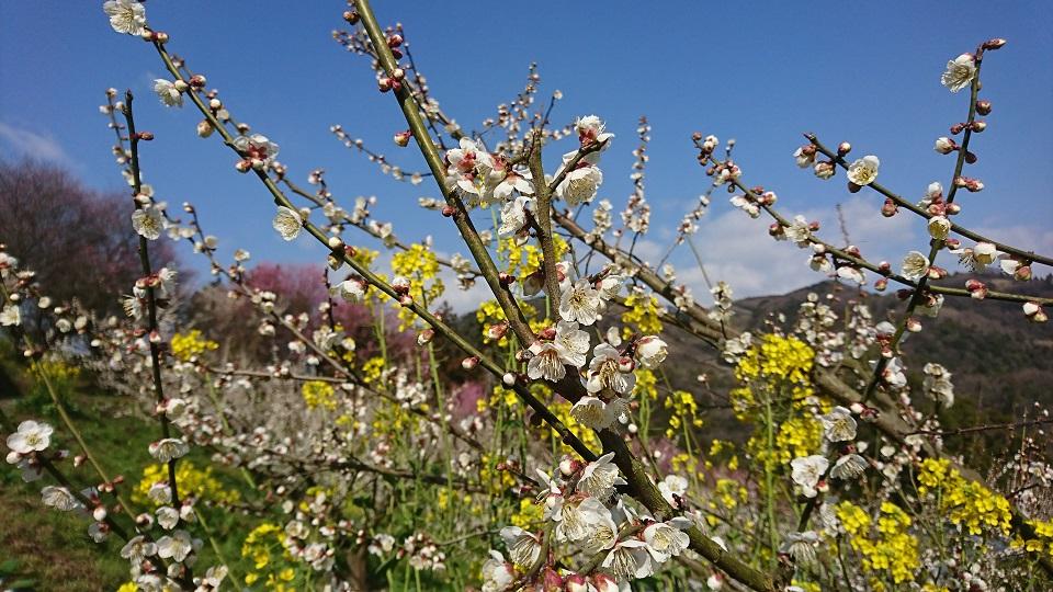 白梅の枝を縫うように伸びる菜の花。