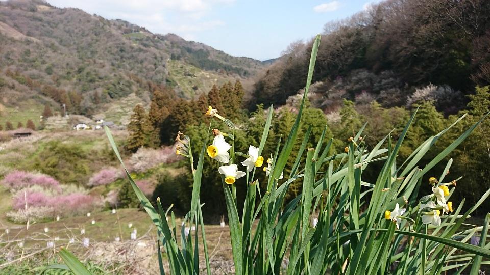 野道に咲いた水仙の遥か向こうに梅の木々が見える。山を登ってきたことがわかる。