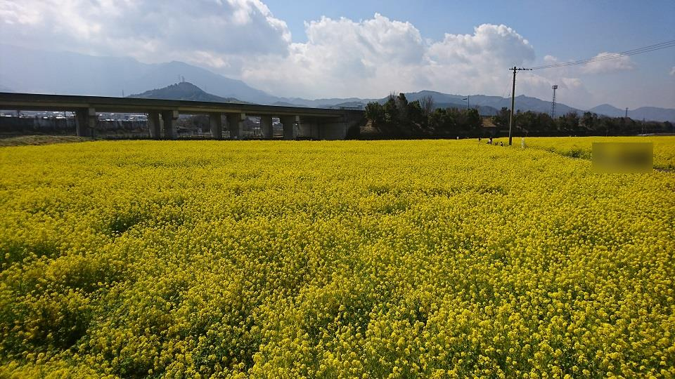 高速道路の下まで広がる菜の花畑。