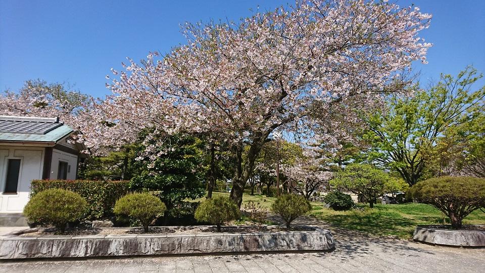 庭園入り口に咲く桜の木。剪定された木々から日本庭園だとわかる。