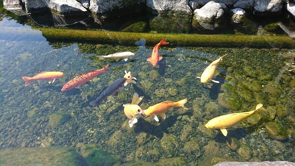 棲んだ湧き水の中を泳ぐ色とりどりの鯉たち。
