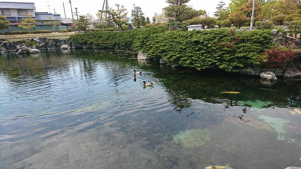 池の中を泳ぐカルガモの親子と鯉。