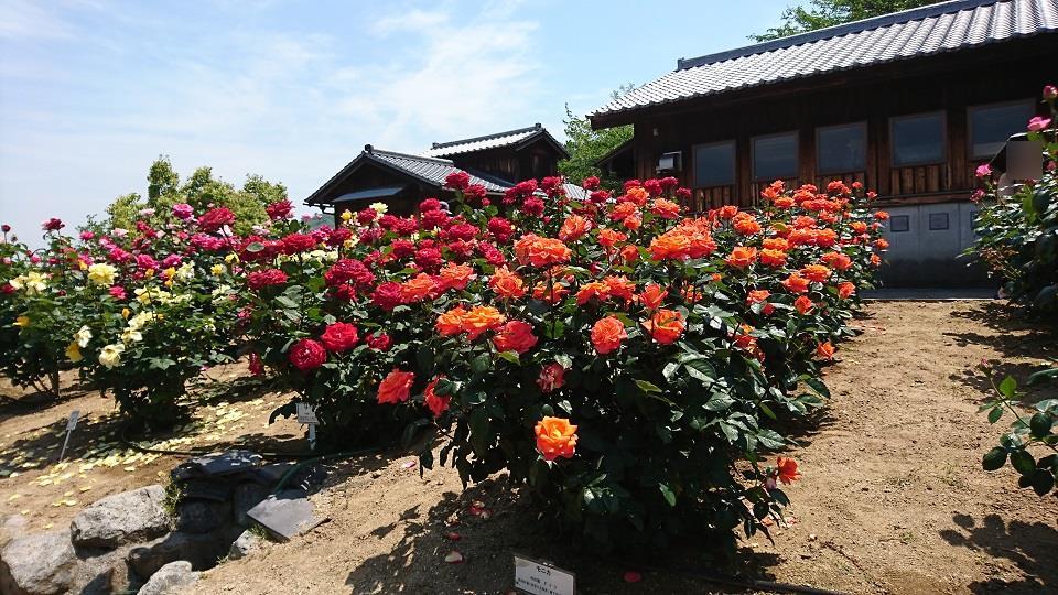 ローズガーデンきくまに咲くバラ達。